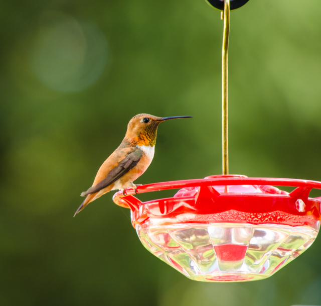 20140720-Hummingbirds-00019