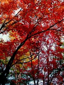indian-summer Maple Leaf in Canada