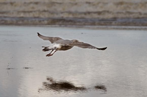 silent-sunday-seagull